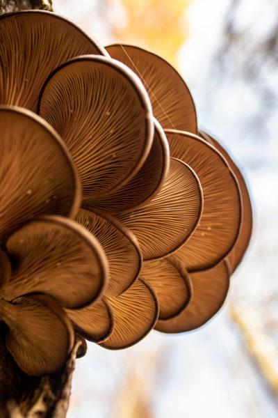 Das Bild zeigt Austernpilze an einem Baum wachsend.